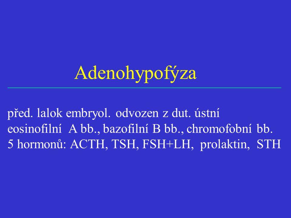 Adenohypofýza před. lalok embryol. odvozen z dut. ústní eosinofilní A bb., bazofilní B bb., chromofobní bb. 5 hormonů: ACTH, TSH, FSH+LH, prolaktin, S