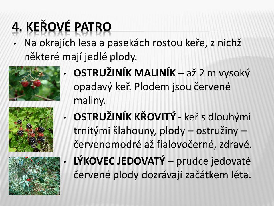 • Na okrajích lesa a pasekách rostou keře, z nichž některé mají jedlé plody. • OSTRUŽINÍK MALINÍK – až 2 m vysoký opadavý keř. Plodem jsou červené mal