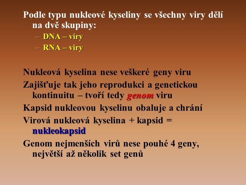 Podle typu nukleové kyseliny se všechny viry dělí na dvě skupiny: –DNA – viry –RNA – viry Nukleová kyselina nese veškeré geny viru genom Zajišťuje tak jeho reprodukci a genetickou kontinuitu – tvoří tedy genom viru Kapsid nukleovou kyselinu obaluje a chrání nukleokapsid Virová nukleová kyselina + kapsid = nukleokapsid Genom nejmenších virů nese pouhé 4 geny, největší až několik set genů