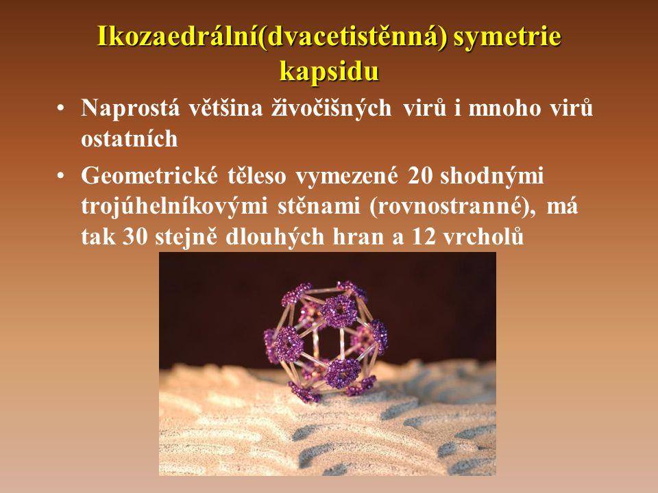 Ikozaedrální(dvacetistěnná) symetrie kapsidu •Naprostá většina živočišných virů i mnoho virů ostatních •Geometrické těleso vymezené 20 shodnými trojúhelníkovými stěnami (rovnostranné), má tak 30 stejně dlouhých hran a 12 vrcholů