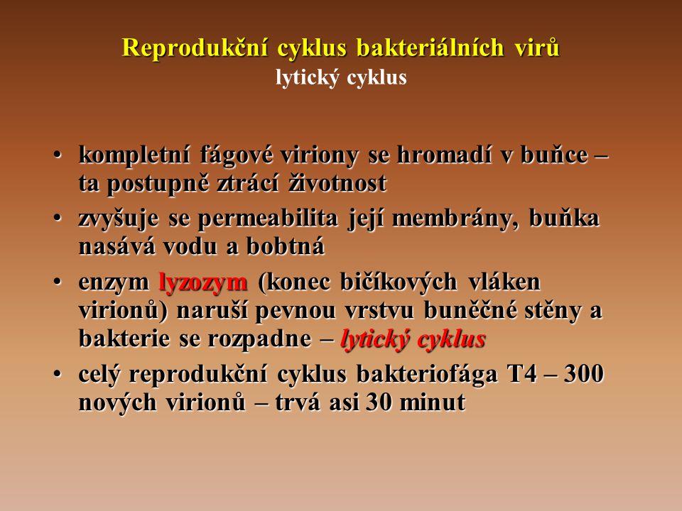 Reprodukční cyklus bakteriálních virů Reprodukční cyklus bakteriálních virů lytický cyklus •kompletní fágové viriony se hromadí v buňce – ta postupně ztrácí životnost •zvyšuje se permeabilita její membrány, buňka nasává vodu a bobtná •enzym lyzozym (konec bičíkových vláken virionů) naruší pevnou vrstvu buněčné stěny a bakterie se rozpadne – lytický cyklus •celý reprodukční cyklus bakteriofága T4 – 300 nových virionů – trvá asi 30 minut