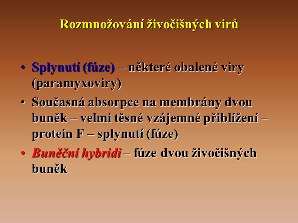 Rozmnožování živočišných virů •Splynutí (fúze) – některé obalené viry (paramyxoviry) •Současná absorpce na membrány dvou buněk – velmi těsné vzájemné přiblížení – protein F – splynutí (fúze) •Buněční hybridi – fúze dvou živočišných buněk