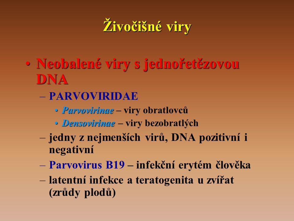 Živočišné viry •Neobalené viry s jednořetězovou DNA –PARVOVIRIDAE •Parvovirinae •Parvovirinae – viry obratlovců •Densovirinae •Densovirinae – viry bezobratlých –jedny z nejmenších virů, DNA pozitivní i negativní –Parvovirus B19 – infekční erytém člověka –latentní infekce a teratogenita u zvířat (zrůdy plodů)