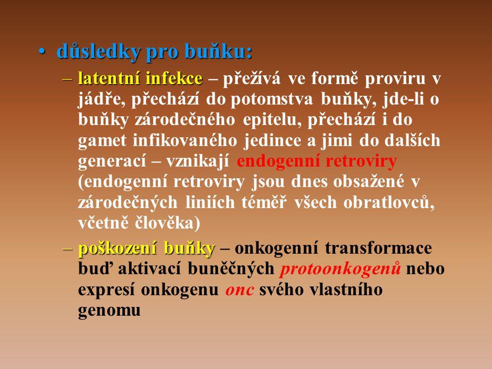 •důsledky pro buňku: –latentní infekce –latentní infekce – přežívá ve formě proviru v jádře, přechází do potomstva buňky, jde-li o buňky zárodečného epitelu, přechází i do gamet infikovaného jedince a jimi do dalších generací – vznikají endogenní retroviry (endogenní retroviry jsou dnes obsažené v zárodečných liniích téměř všech obratlovců, včetně člověka) –poškození buňky –poškození buňky – onkogenní transformace buď aktivací buněčných protoonkogenů nebo expresí onkogenu onc svého vlastního genomu