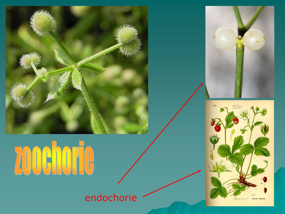 endochorie