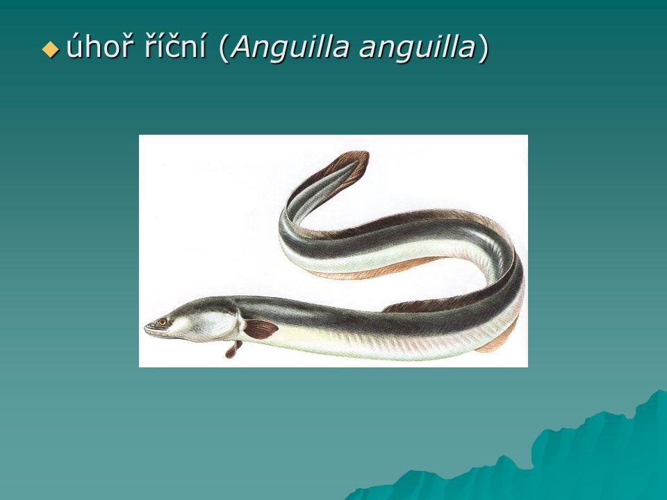  úhoř říční (Anguilla anguilla)