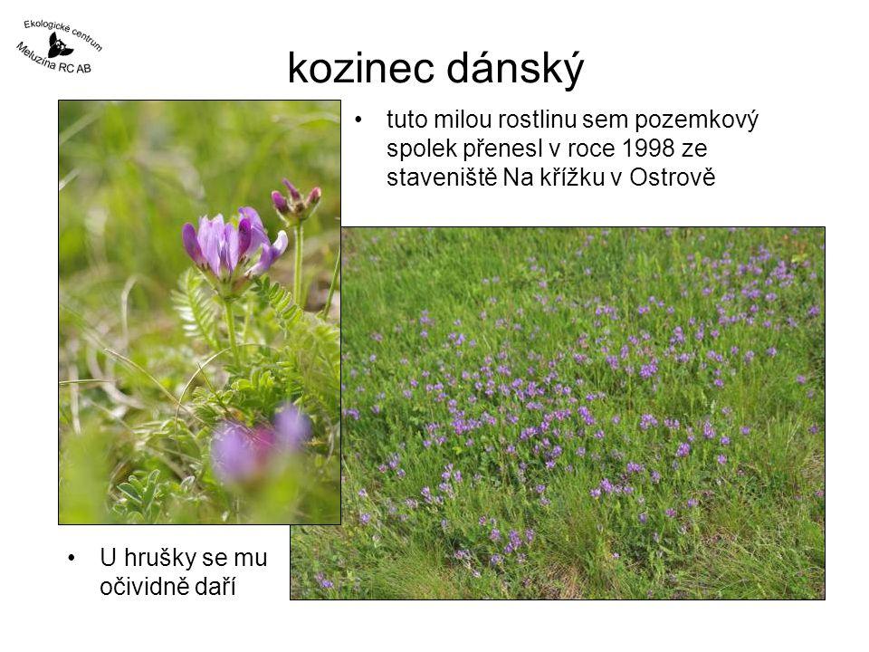 kozinec dánský •tuto milou rostlinu sem pozemkový spolek přenesl v roce 1998 ze staveniště Na křížku v Ostrově •U hrušky se mu očividně daří