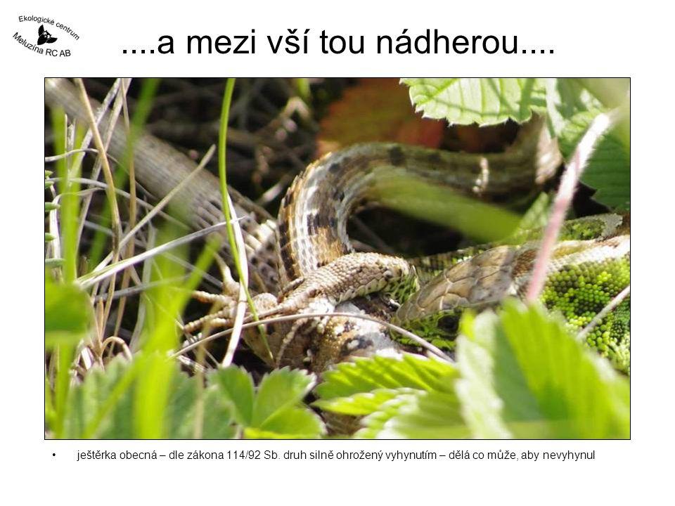 ....a mezi vší tou nádherou.... •ještěrka obecná – dle zákona 114/92 Sb. druh silně ohrožený vyhynutím – dělá co může, aby nevyhynul