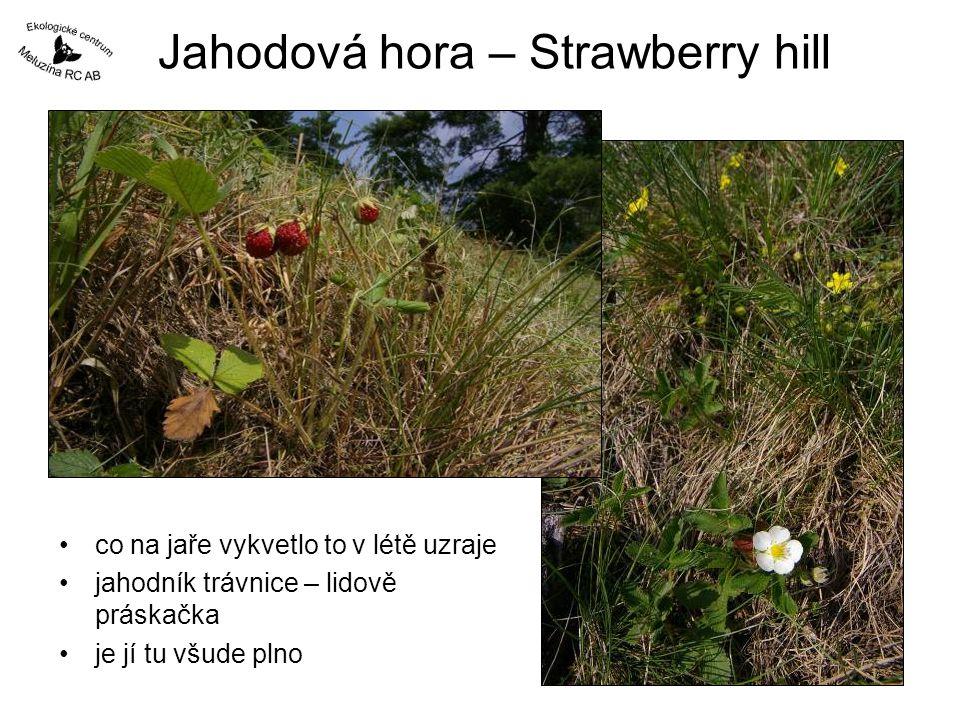 Jahodová hora – Strawberry hill •co na jaře vykvetlo to v létě uzraje •jahodník trávnice – lidově práskačka •je jí tu všude plno