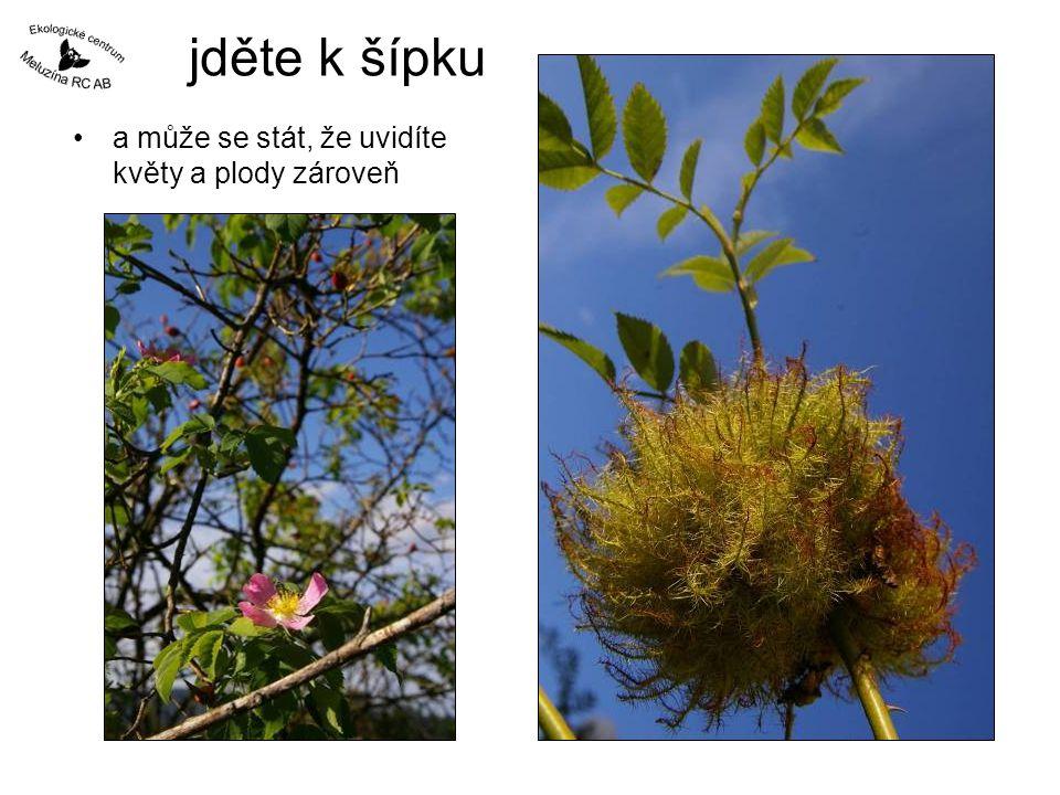 jděte k šípku •a může se stát, že uvidíte květy a plody zároveň