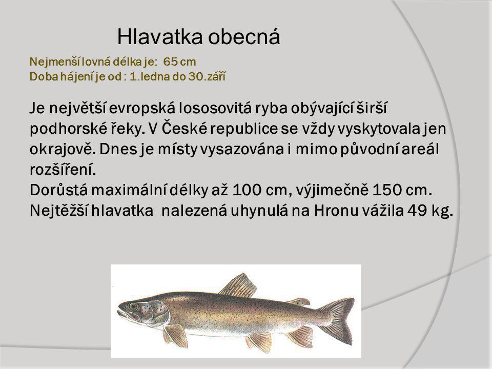 Nejmenší lovná délka je: 65 cm Doba hájení je od : 1.ledna do 30.září Je největší evropská lososovitá ryba obývající širší podhorské řeky. V České rep