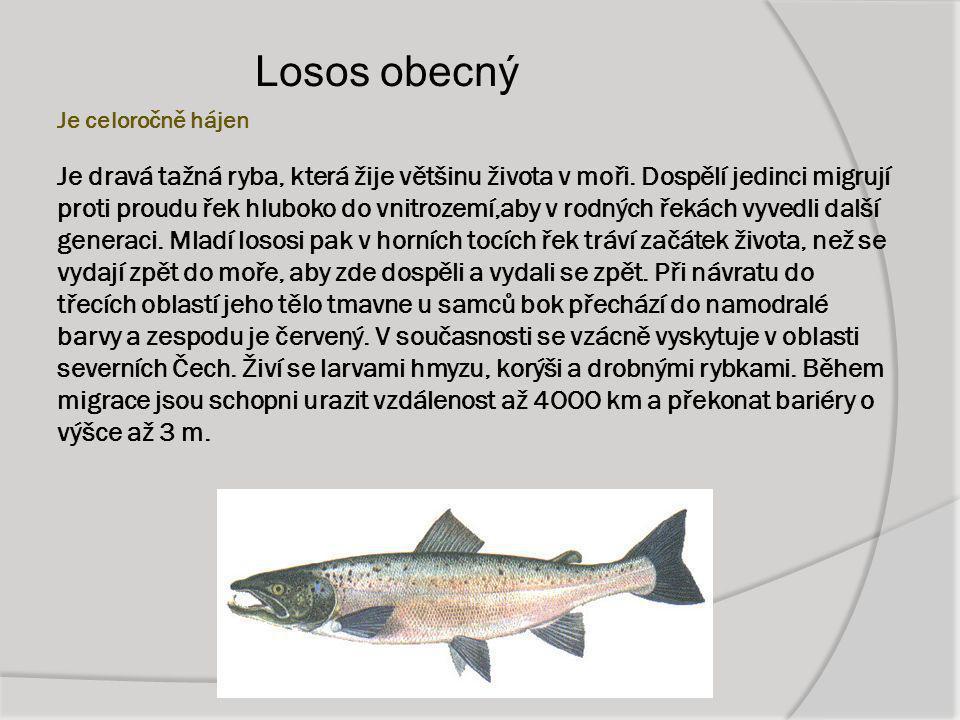 Je celoročně hájen Je dravá tažná ryba, která žije většinu života v moři. Dospělí jedinci migrují proti proudu řek hluboko do vnitrozemí,aby v rodných