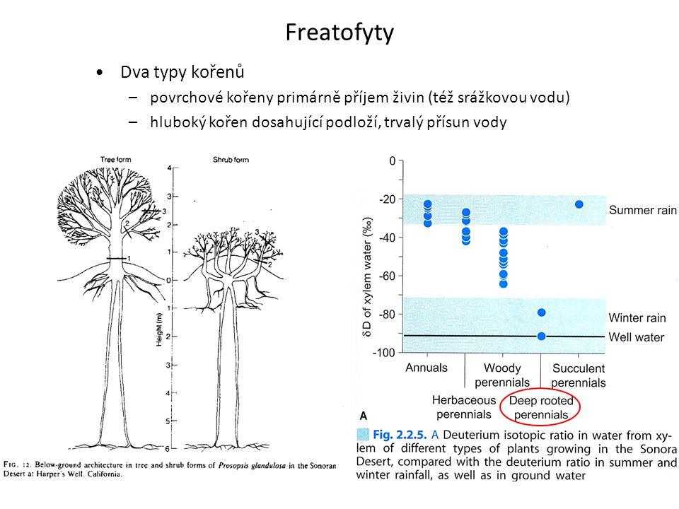 Freatofyty •Dva typy kořenů –povrchové kořeny primárně příjem živin (též srážkovou vodu) –hluboký kořen dosahující podloží, trvalý přísun vody