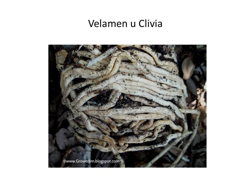 Velamen u Clivia