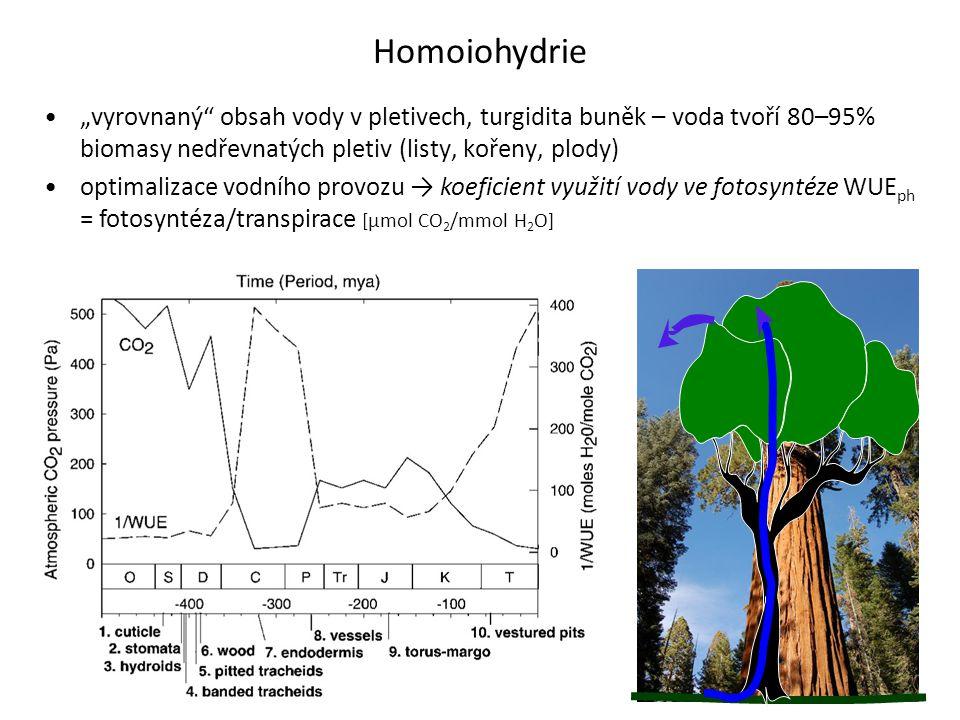 """Homoiohydrie •""""vyrovnaný"""" obsah vody v pletivech, turgidita buněk – voda tvoří 80–95% biomasy nedřevnatých pletiv (listy, kořeny, plody) •optimalizace"""