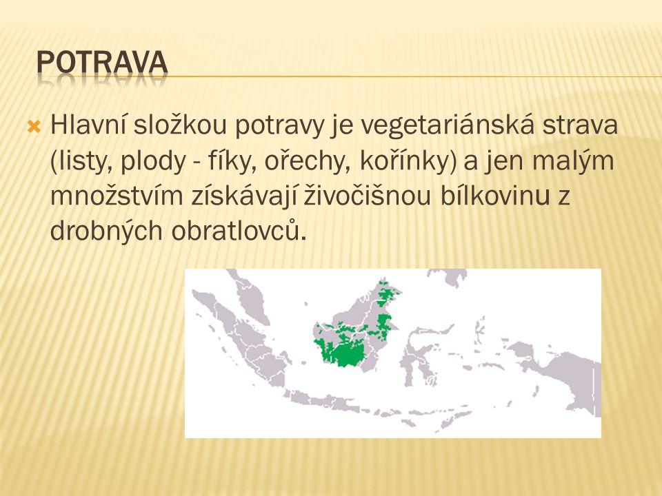 Hlavní složkou potravy je vegetariánská strava (listy, plody - fíky, ořechy, kořínky) a jen malým množstvím získávají živočišnou bílkovin u z drobných obratlovců.