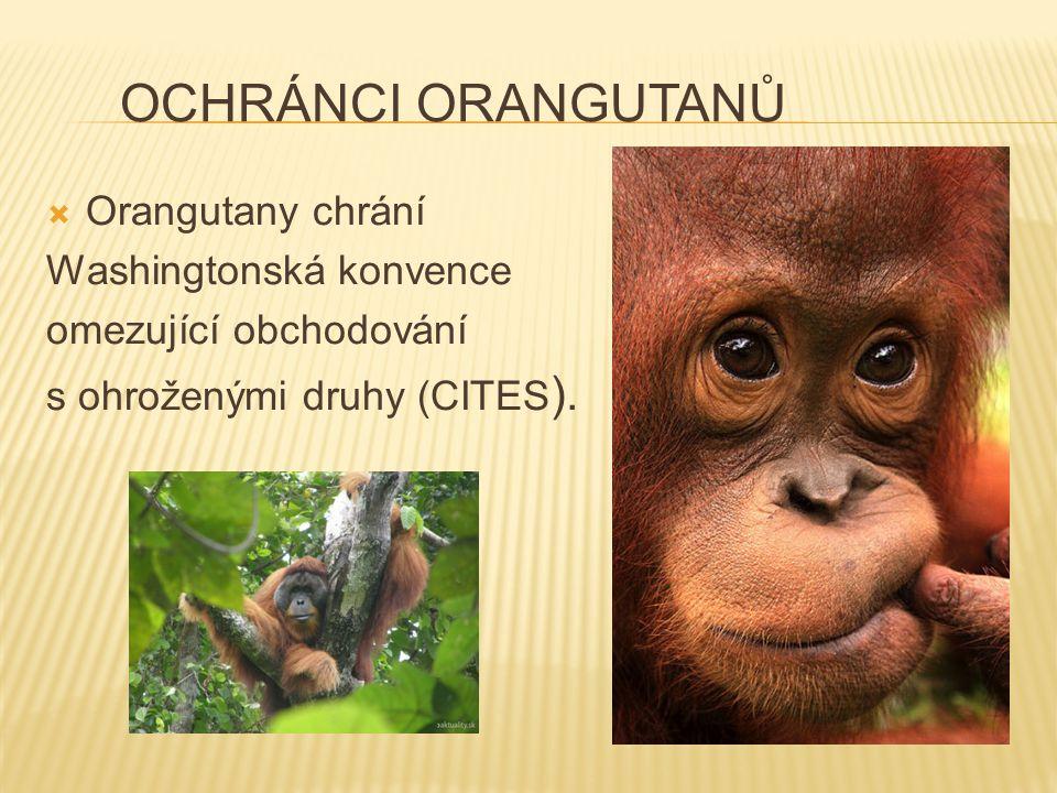OCHRÁNCI ORANGUTANŮ  Orangutany chrání Washingtonská konvence omezující obchodování s ohroženými druhy (CITES ).