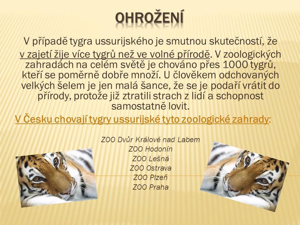 V případě tygra ussurijského je smutnou skutečností, že v zajetí žije více tygrů než ve volné přírodě.