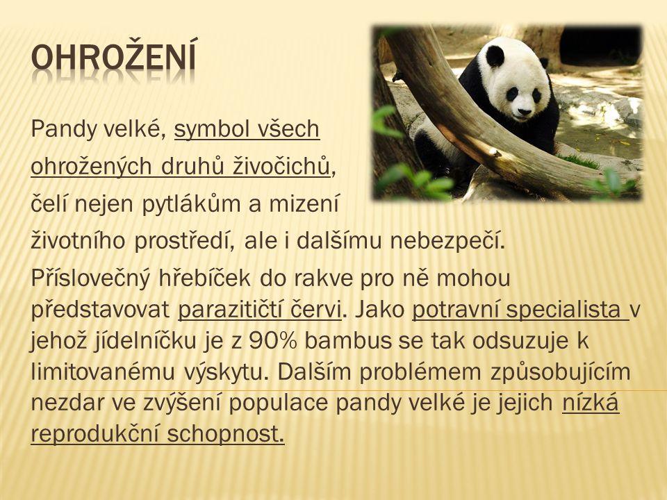 Pandy velké, symbol všech ohrožených druhů živočichů, čelí nejen pytlákům a mizení životního prostředí, ale i dalšímu nebezpečí.
