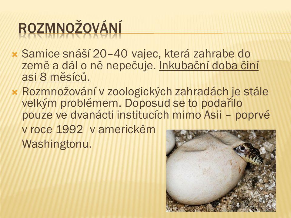  Samice snáší 20–40 vajec, která zahrabe do země a dál o ně nepečuje.