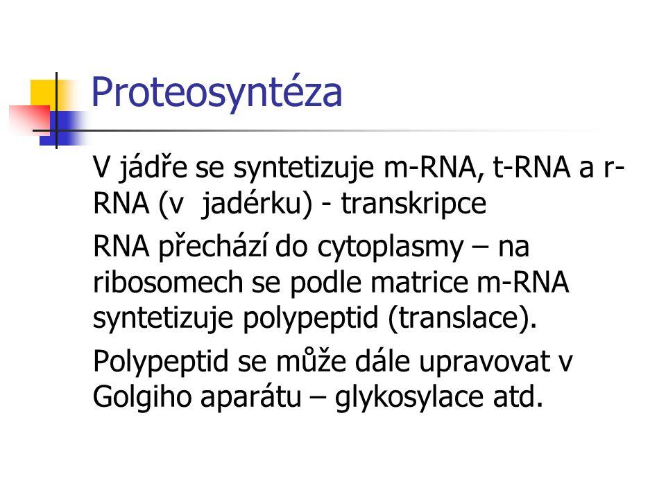 Proteosyntéza V jádře se syntetizuje m-RNA, t-RNA a r- RNA (v jadérku) - transkripce RNA přechází do cytoplasmy – na ribosomech se podle matrice m-RNA syntetizuje polypeptid (translace).