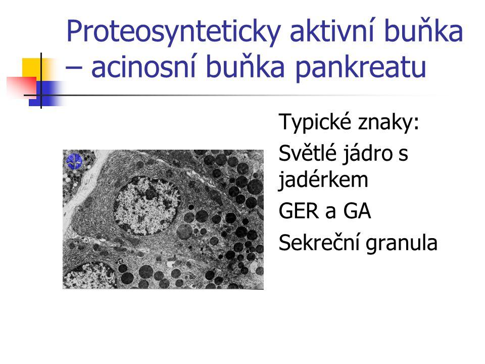 Proteosynteticky aktivní buňka – acinosní buňka pankreatu Typické znaky: Světlé jádro s jadérkem GER a GA Sekreční granula