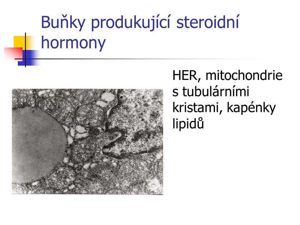 Buňky produkující steroidní hormony HER, mitochondrie s tubulárními kristami, kapénky lipidů