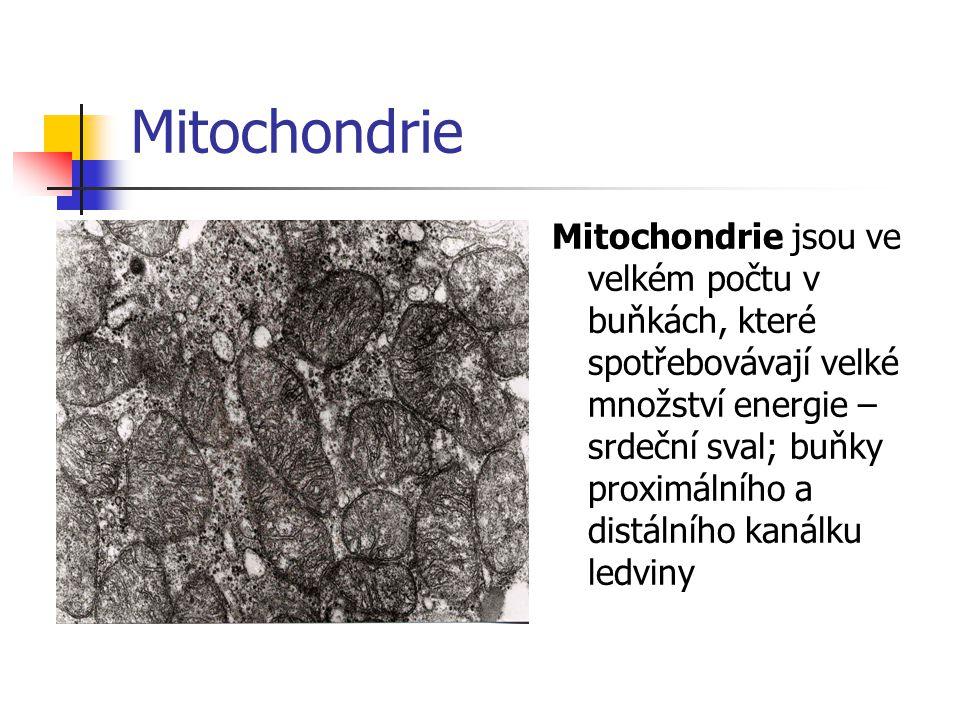 Mitochondrie Mitochondrie jsou ve velkém počtu v buňkách, které spotřebovávají velké množství energie – srdeční sval; buňky proximálního a distálního kanálku ledviny