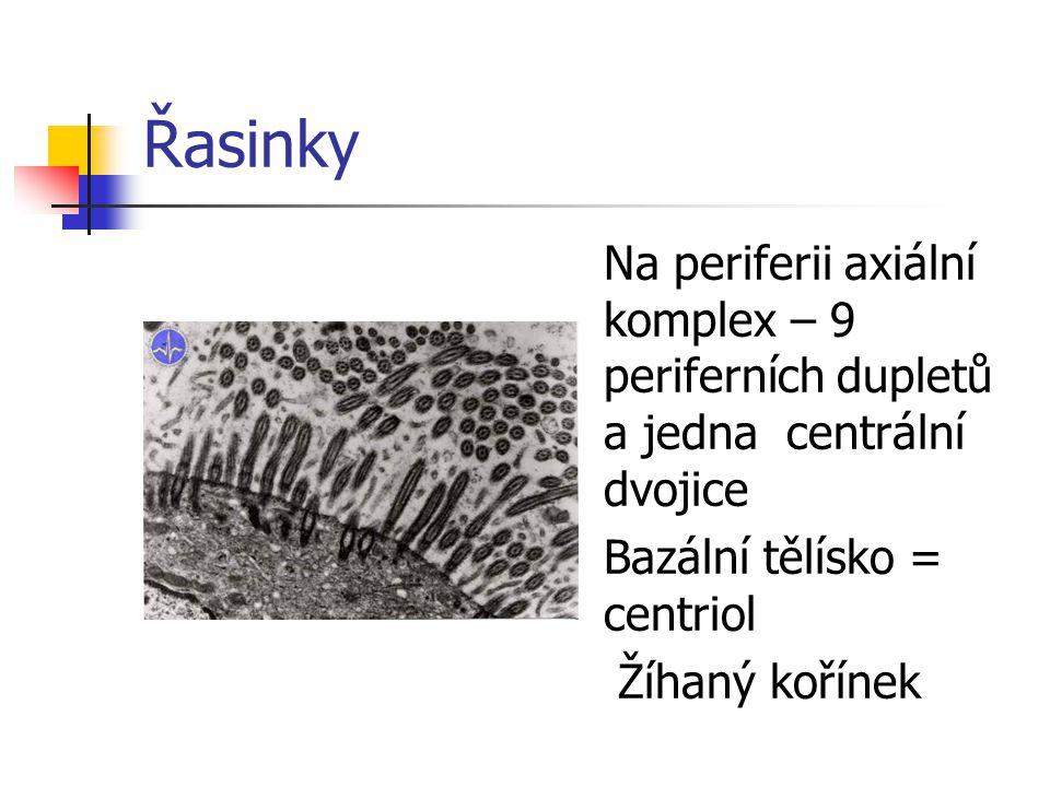 Řasinky Na periferii axiální komplex – 9 periferních dupletů a jedna centrální dvojice Bazální tělísko = centriol Žíhaný kořínek