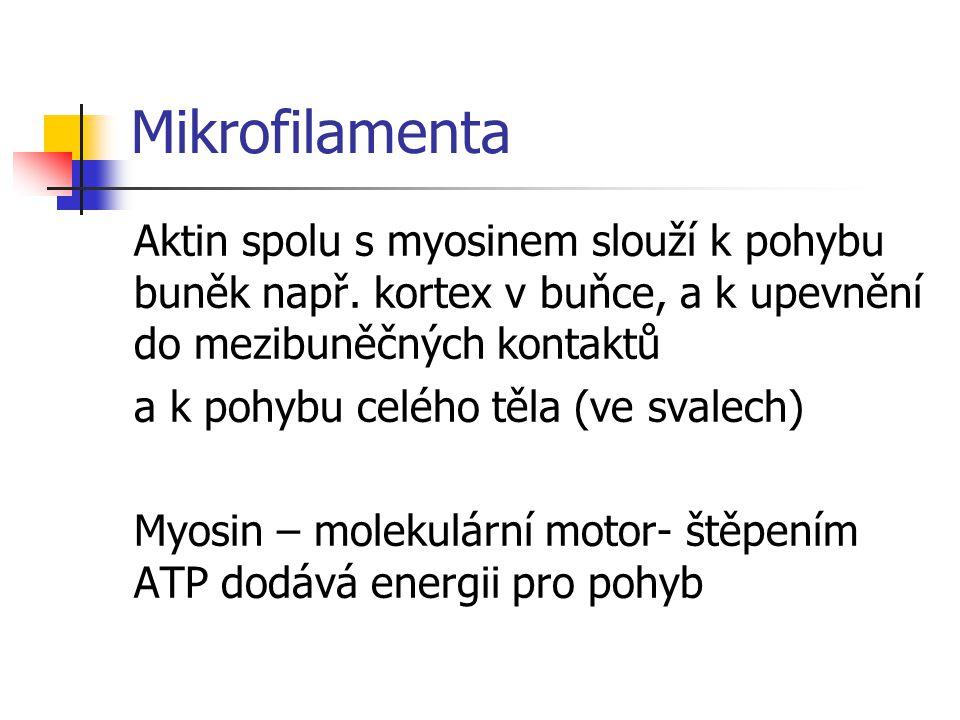 Mikrofilamenta Aktin spolu s myosinem slouží k pohybu buněk např.