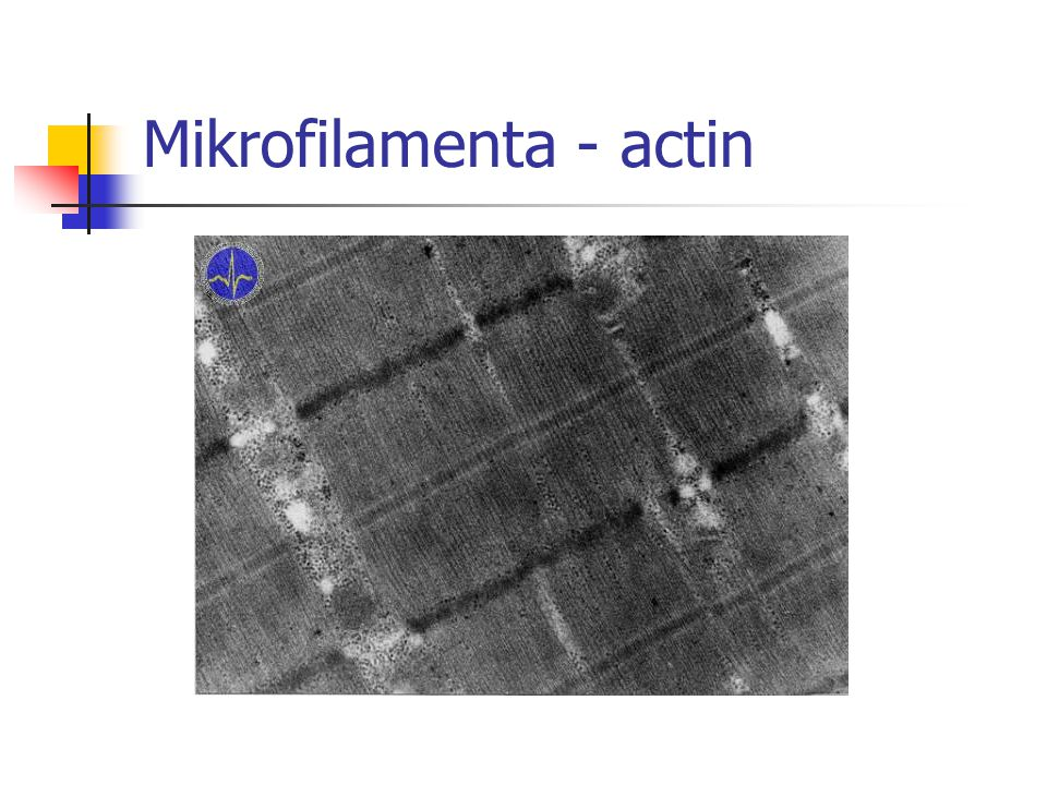 Mikrofilamenta - actin