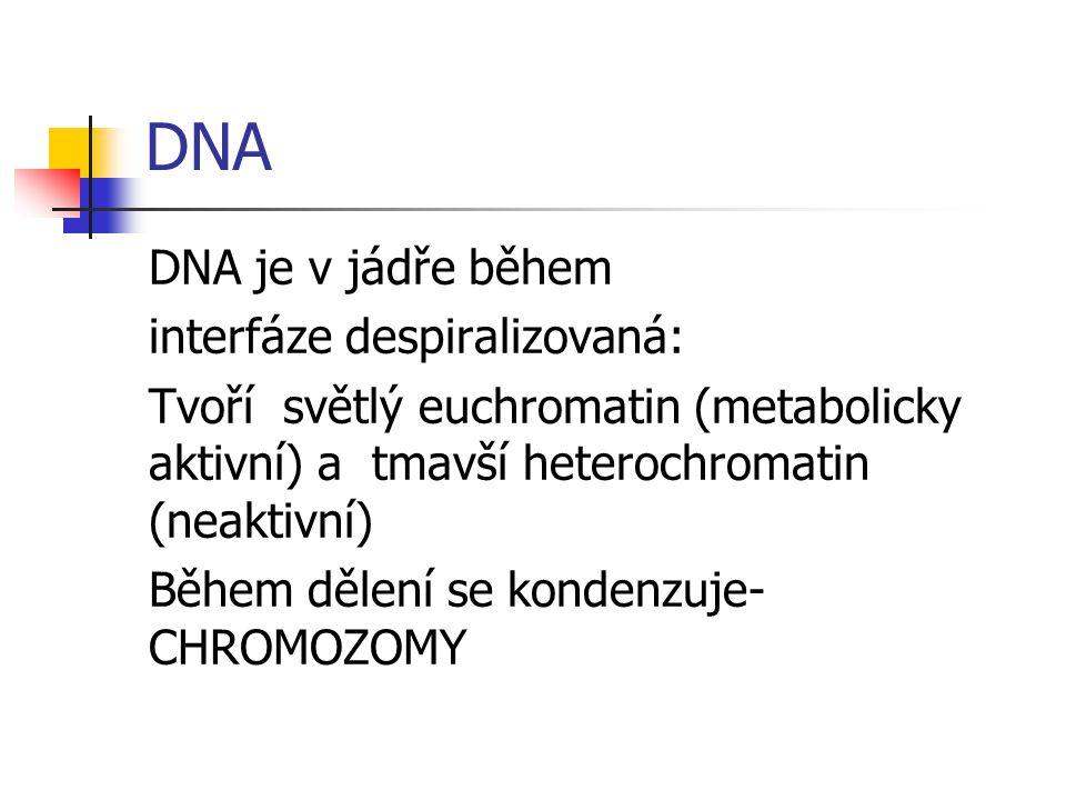 DNA DNA je v jádře během interfáze despiralizovaná: Tvoří světlý euchromatin (metabolicky aktivní) a tmavší heterochromatin (neaktivní) Během dělení se kondenzuje- CHROMOZOMY
