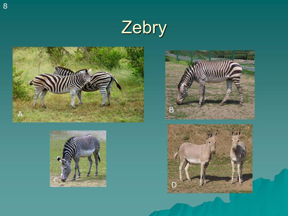 Zebry A B C D A 8