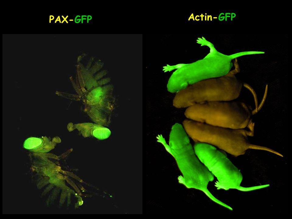 PAX-GFP Actin-GFP
