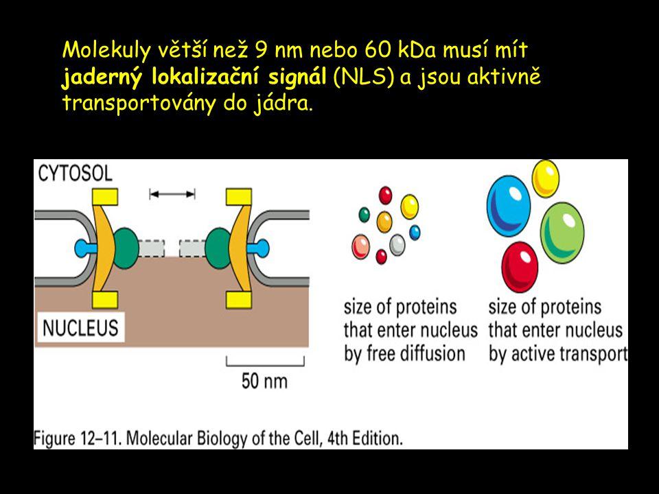 Molekuly větší než 9 nm nebo 60 kDa musí mít jaderný lokalizační signál (NLS) a jsou aktivně transportovány do jádra.