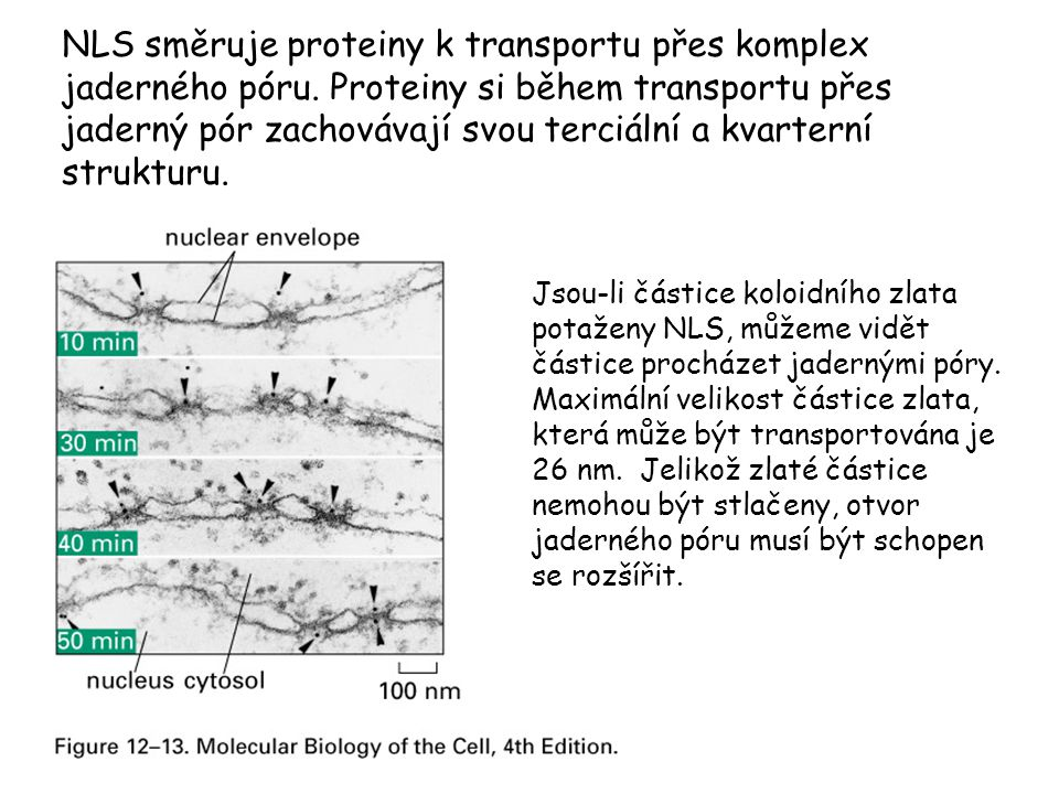 NLS směruje proteiny k transportu přes komplex jaderného póru. Proteiny si během transportu přes jaderný pór zachovávají svou terciální a kvarterní st