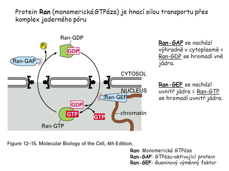 Protein Ran (monomerická GTPáza) je hnací silou transportu přes komplex jaderného póru Ran-GAP se nachází výhradně v cytoplasmě = Ran-GDP se hromadí v
