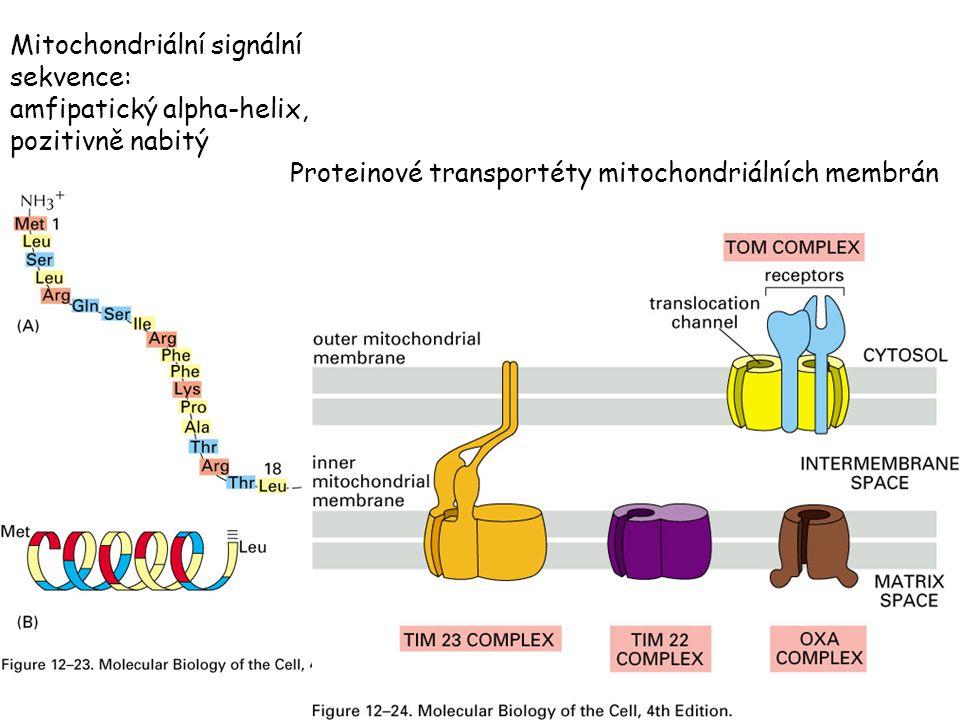 Mitochondriální signální sekvence: amfipatický alpha-helix, pozitivně nabitý Proteinové transportéty mitochondriálních membrán