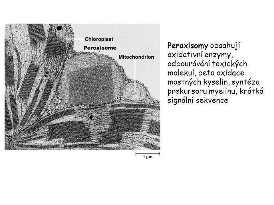 Peroxisomy obsahují oxidativní enzymy, odbourávání toxických molekul, beta oxidace mastných kyselin, syntéza prekursoru myelinu, krátká signální sekve