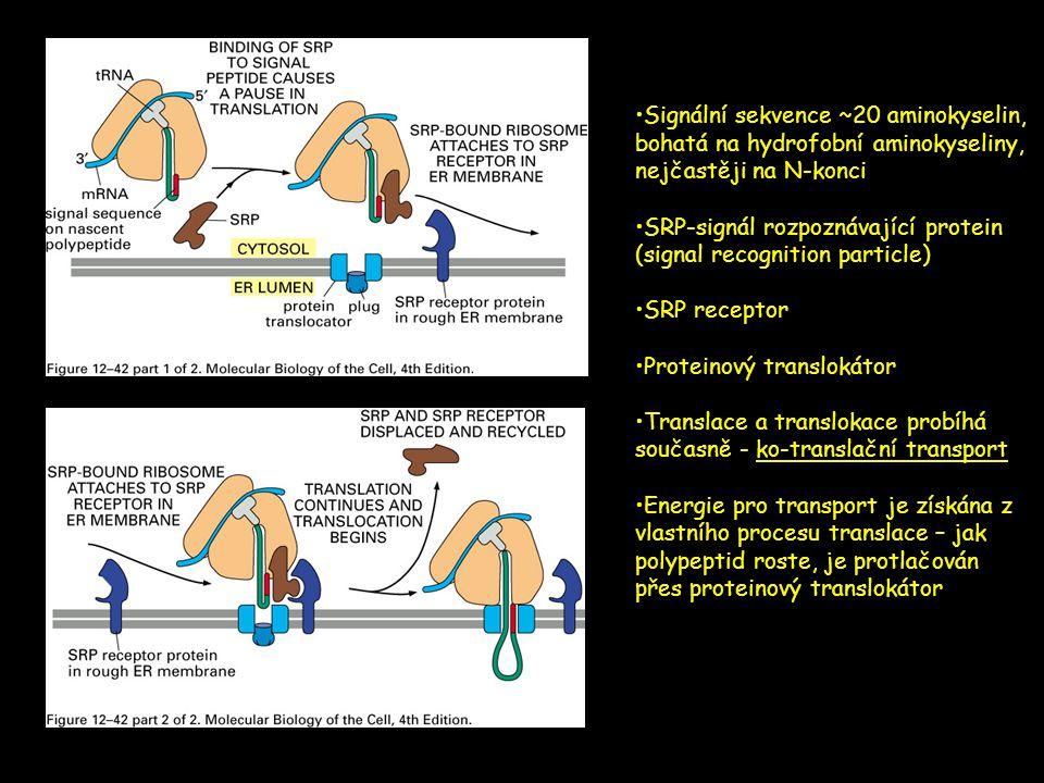 •Signální sekvence ~20 aminokyselin, bohatá na hydrofobní aminokyseliny, nejčastěji na N-konci •SRP-signál rozpoznávající protein (signal recognition