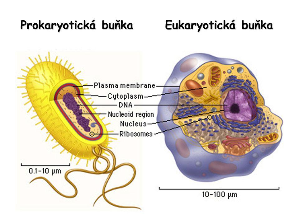 Proteiny jsou předávány z ER do Golgiho aparátu.
