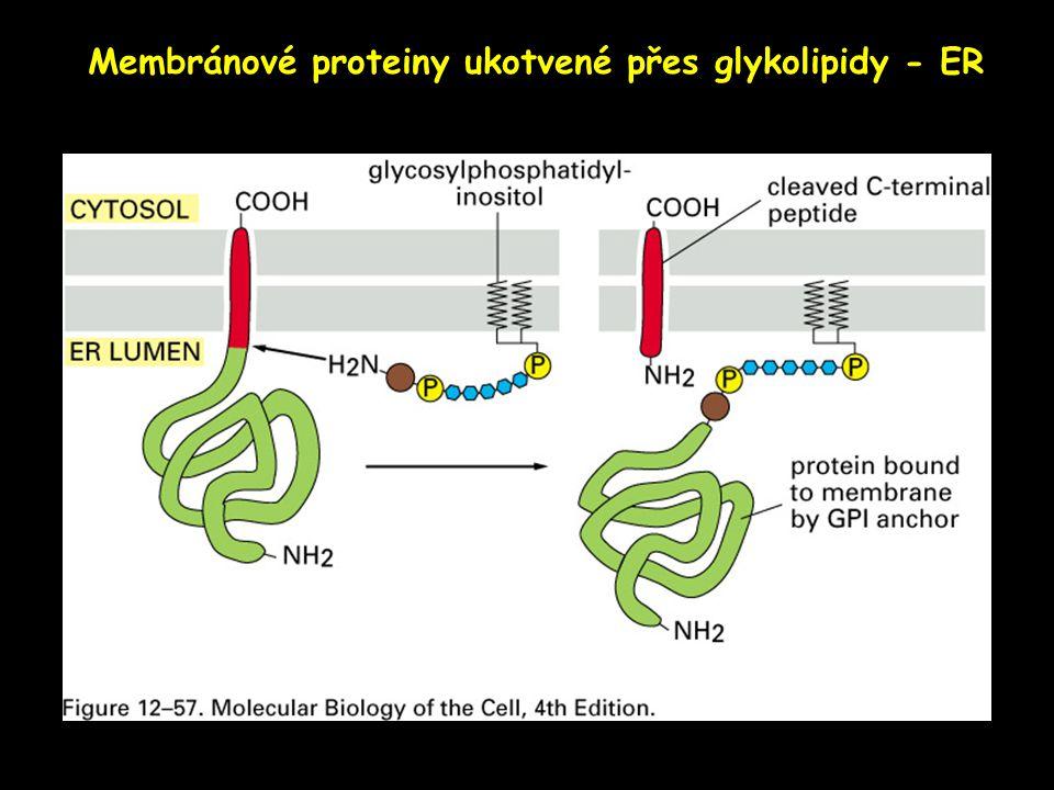 Membránové proteiny ukotvené přes glykolipidy - ER
