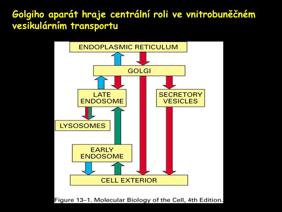 Golgiho aparát hraje centrální roli ve vnitrobuněčném vesikulárním transportu