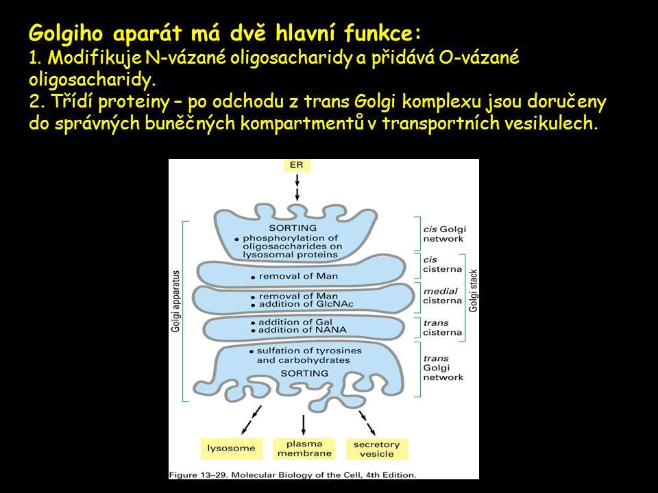 Golgiho aparát má dvě hlavní funkce: 1. Modifikuje N-vázané oligosacharidy a přidává O-vázané oligosacharidy. 2. Třídí proteiny – po odchodu z trans G