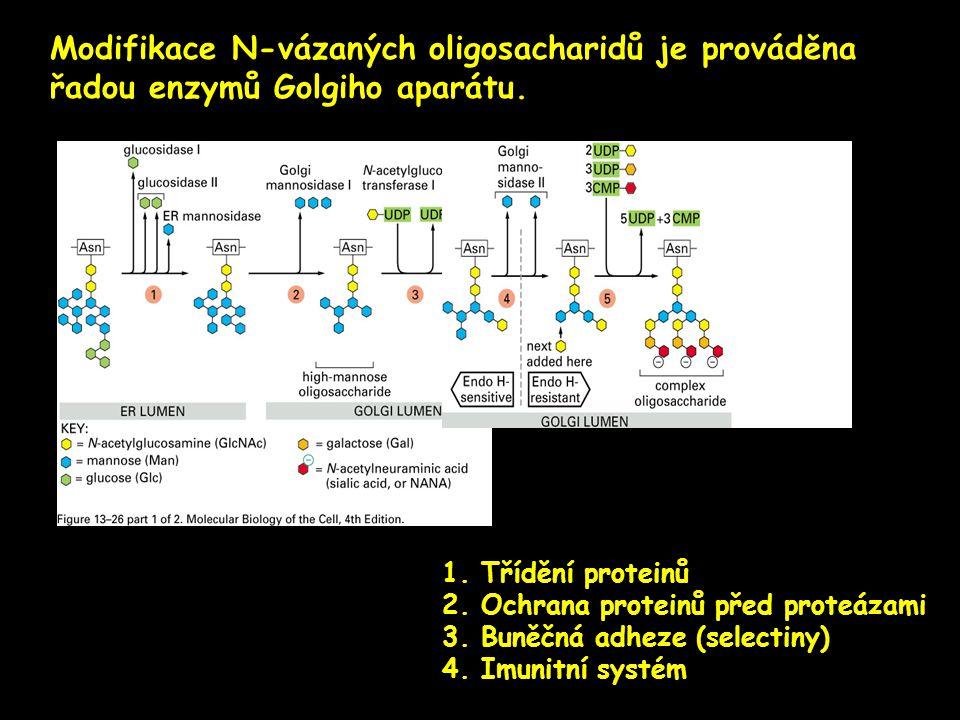 Modifikace N-vázaných oligosacharidů je prováděna řadou enzymů Golgiho aparátu. 1. Třídění proteinů 2. Ochrana proteinů před proteázami 3. Buněčná adh
