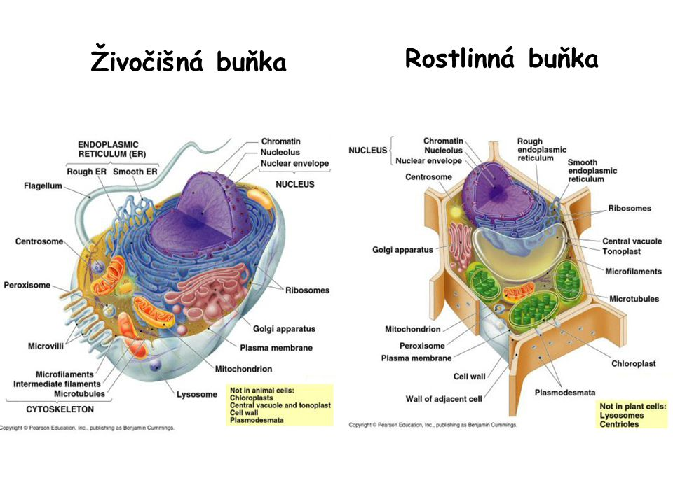 Funkce hlavních vnitrobuněčných oddílů •Jádro – obsahuje buněčný genom, syntéza DNA and RNA •Cytosol – syntéza proteinů, glykolýza, metabolické dráhy pro syntézu aminokyselin, nukleotidů, etc •Endoplasmatické retikulum – syntéza membránových a sekrečních proteinů, syntéza většiny lipidů •Golgiho aparát – kovalentní modifikace proteinů z ER, třídění proteinů a lipidů pro sekreci a transport do jiných částí buňky •Mitochondrie – syntéza ATP oxidační fosforylací •Chloroplasty – syntéza ATP a fixace uhlíku fotosyntézou •Lyzosomy – odbourávání látek uvnitř buňky •Endosomy – třídění materiálu z endocytózy a GA •Peroxisomy – oxidace toxických molekul, beta oxidace mastných kyselin