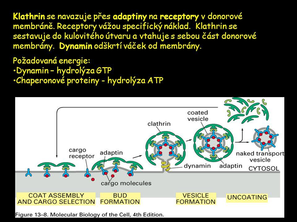 Klathrin se navazuje přes adaptiny na receptory v donorové membráně. Receptory vážou specifický náklad. Klathrin se sestavuje do kulovitého útvaru a v