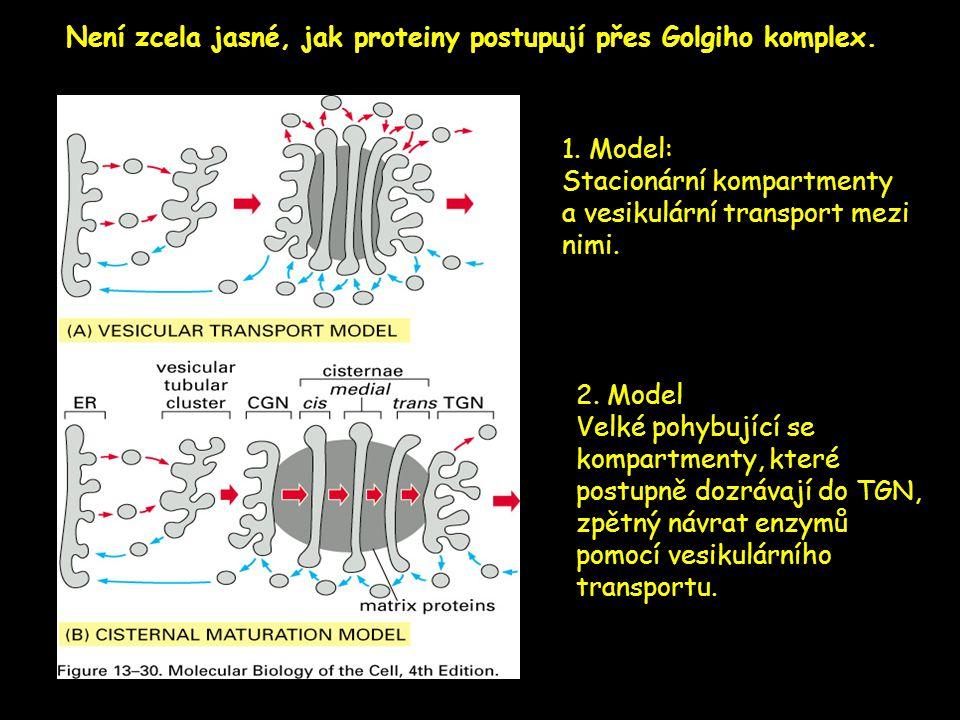 Není zcela jasné, jak proteiny postupují přes Golgiho komplex. 1. Model: Stacionární kompartmenty a vesikulární transport mezi nimi. 2. Model Velké po