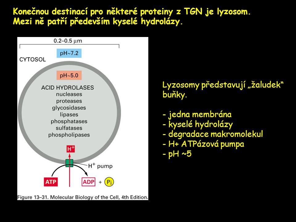 """Konečnou destinací pro některé proteiny z TGN je lyzosom. Mezi ně patří především kyselé hydrolázy. Lyzosomy představují """"žaludek"""" buňky. - jedna memb"""