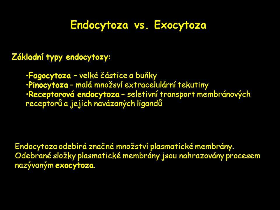 Endocytoza vs. Exocytoza Základní typy endocytozy: •Fagocytoza – velké částice a buňky •Pinocytoza – malá množsví extracelulární tekutiny •Receptorová